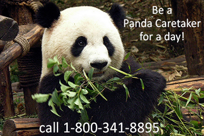 Be a Panda Volunteer Caretaker for a day on the China Tibet Dream Tour